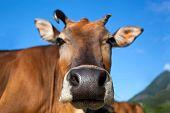 Head Of Cow Closeup
