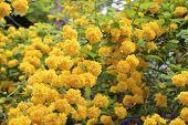 Kerria Japonica Flowers In Full Bloom