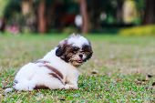 Shih Tzu Puppy Sitting On Green Grass