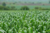 Wheat Field After Rain