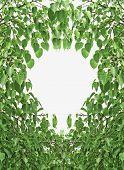 Bodhi Leaf Shape