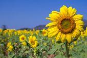 Sunflower With Bluesky Background