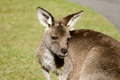Kangaroo Upclose
