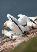 foto of gannet  - A northern gannet couple having sex on a rock - JPG