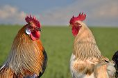 Two roosters against each other on field
