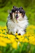 picture of long tongue  - black rough collie dog outdoors in summer - JPG