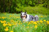 beautiful merle sheltie dog in dandelions