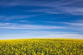 Canola field in South Australia