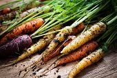 pic of root-crops  - Fresh rainbow carrots picked from the garden - JPG