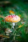 Poisonous amanita growing in wet autumn weather