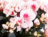 Blossoming pink azalea of a grade of Mevrouw Gerard Kint