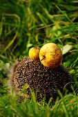 Hedgehog with apple amber