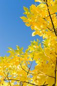 Autumn Background With Yellow Foliage Over Blue Sky
