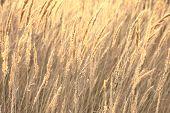 sedge grass autumn background