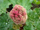 European Rhubarb Plant Flower