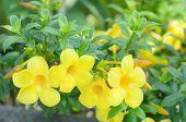 foto of trumpet flower  - Beautiful yellow flower Golden trumpet vine Yellow bell  - JPG