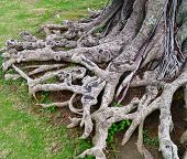 old tree roots