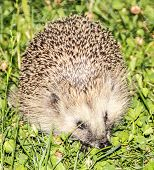 picture of stroll  - A hedgehog taking a stroll in the grass