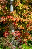 pic of maple tree  - Leaves of Maple Tree Wrapped Around Birch Tree - JPG