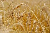 Ripened Ears Of Grain Crops In The Fall.