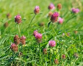 Close View Of Red Clover (trifolium Pratense)