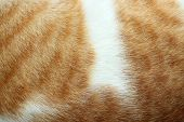 Close-up Of Cat Fur Brown Fur And White For Background Or Texture.