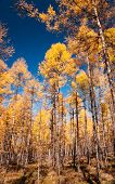 The autumn pine forest