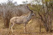 Adult Kudu Feeding At Kruger National Park, South Africa