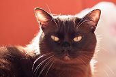 picture of portrait british shorthair cat  - Portrait of a big male cat  - JPG