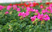 stock photo of geranium  - blooming geranium plants in the greenhouse in spring - JPG