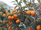 foto of kumquat  - kumquat orange fruit hanging on the tree of the orchard - JPG