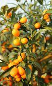 image of kumquat  - kumquat orange fruit hanging from the mast of the orchard of South Europe - JPG