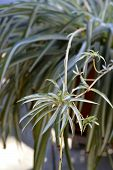image of house plants  - Spider plant beautiful large house plant in a pot - JPG
