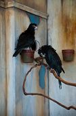 foto of parrots  - Two Vasa Parrots Coracopsis vasa perching on branches at a zoo - JPG