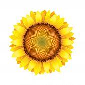 pic of sunflower  - Sunflower isolated on white photo - JPG