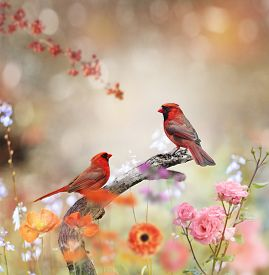 stock photo of cardinal-bird  - Northern Cardinals Perched In The Garden - JPG