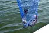 image of catfish  - Catfish on the line - JPG