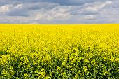 stock photo of rape-field  - Landscape with rape field during flowering in early spring Early spring in a sunny nice day in the countryside - JPG