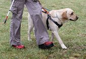 Blind Person Walking With Her Guide Dog poster