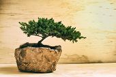 pic of bonsai  - Photograph of a traditional japanese bonsai tree