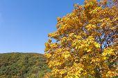 foto of chestnut horse  - Autumn Horse chestnut leaves in front of hill under blue sky - JPG