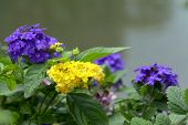 stock photo of lantana  - colorful Lantana camara flowers in garden under sunshine - JPG