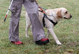 picture of senses  - A blind person is led by her golden retriever guide dog during the last training for the dog - JPG