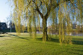 stock photo of weeping  - weeping willow tree in a park in spring time - JPG