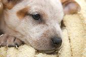 Cute Fox Terrier poster