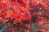Colorful Autumn Leaf In Obara, Japan. poster