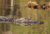 stock photo of suwannee river  - American Alligator  - JPG