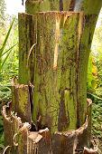 Banana Tree Bark poster
