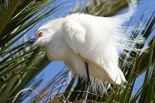 Egret, All Fluffed Up