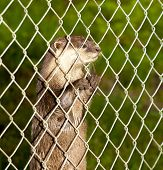 European otter or lutra lutra being curious behind a fence